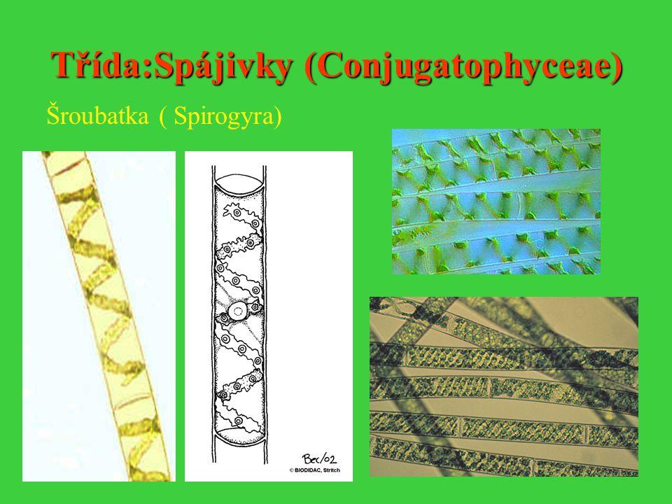 Třída:Spájivky (Conjugatophyceae)
