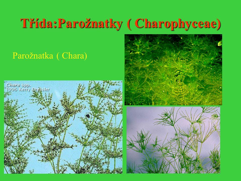 Třída:Parožnatky ( Charophyceae)