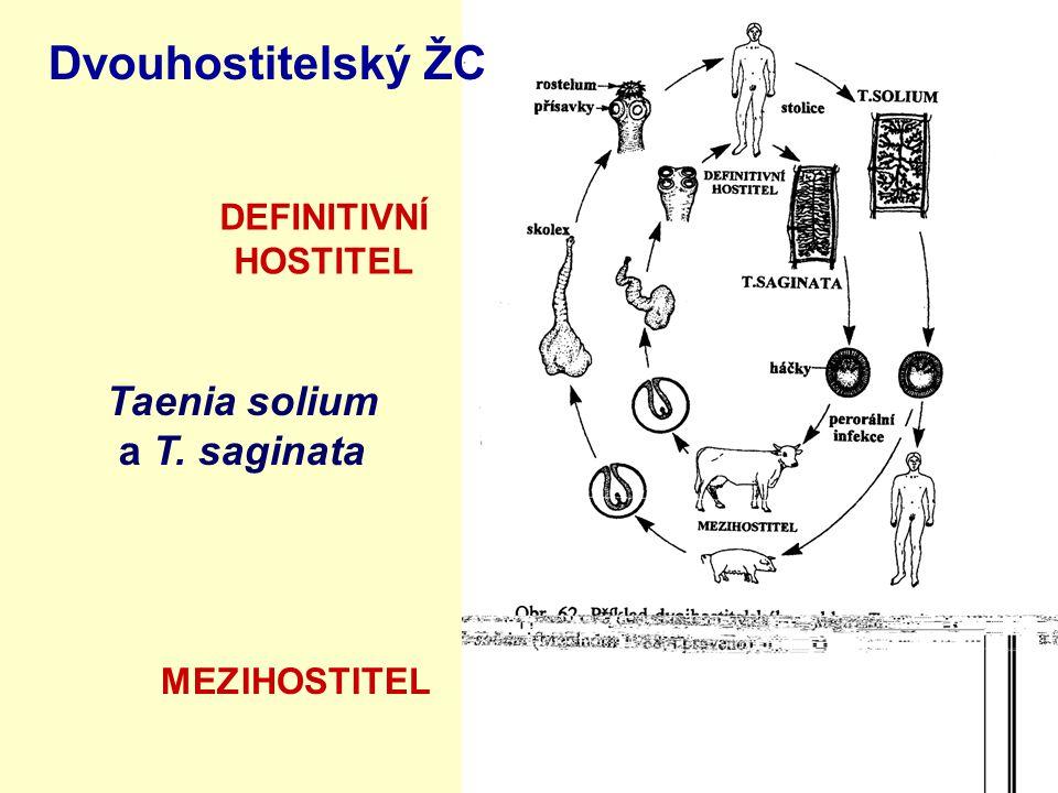 Dvouhostitelský ŽC Taenia solium a T. saginata DEFINITIVNÍ HOSTITEL