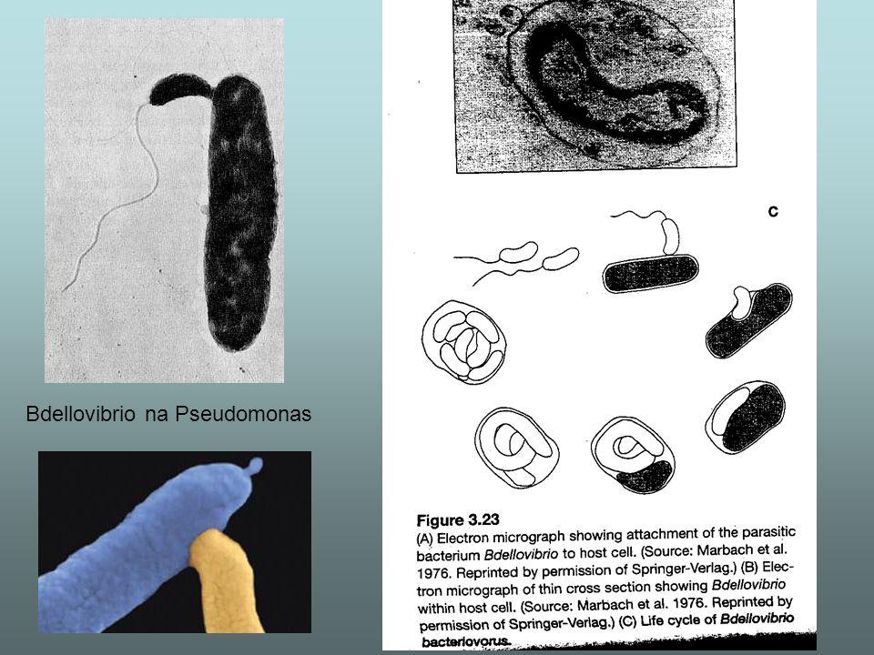 Bdellovibrio na Pseudomonas