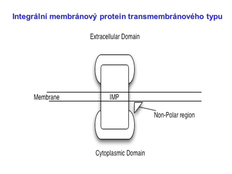 Integrální membránový protein transmembránového typu