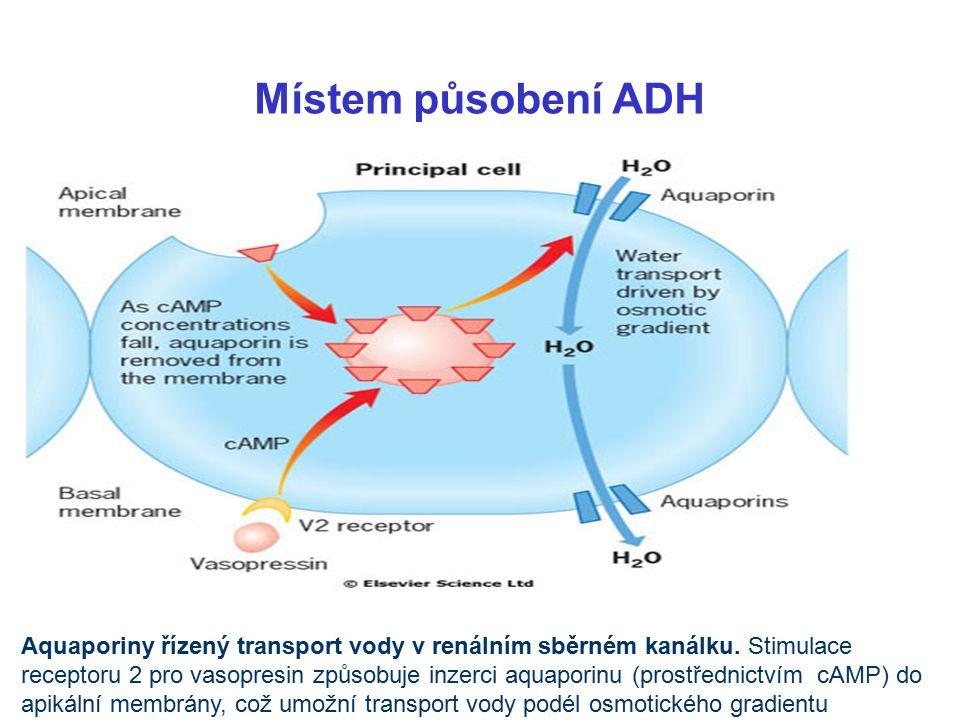 Místem působení ADH Aquaporiny řízený transport vody v renálním sběrném kanálku. Stimulace.