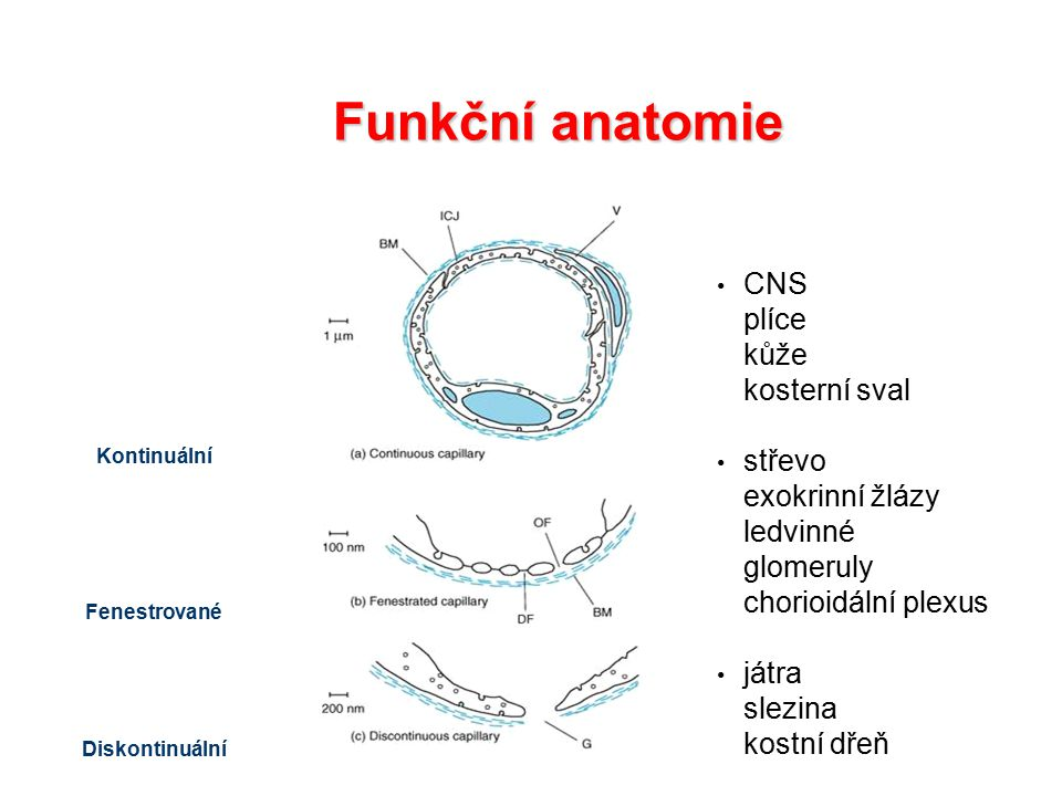 Funkční anatomie CNS plíce kůže kosterní sval střevo exokrinní žlázy