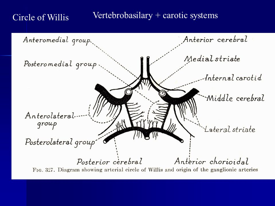 Vertebrobasilary + carotic systems