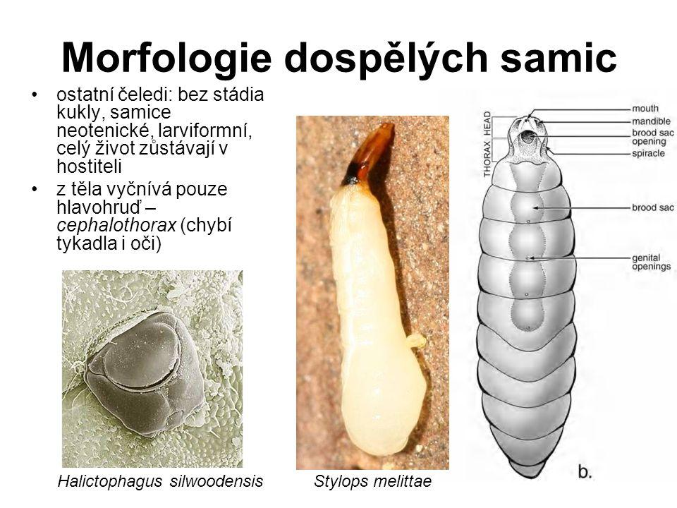Morfologie dospělých samic