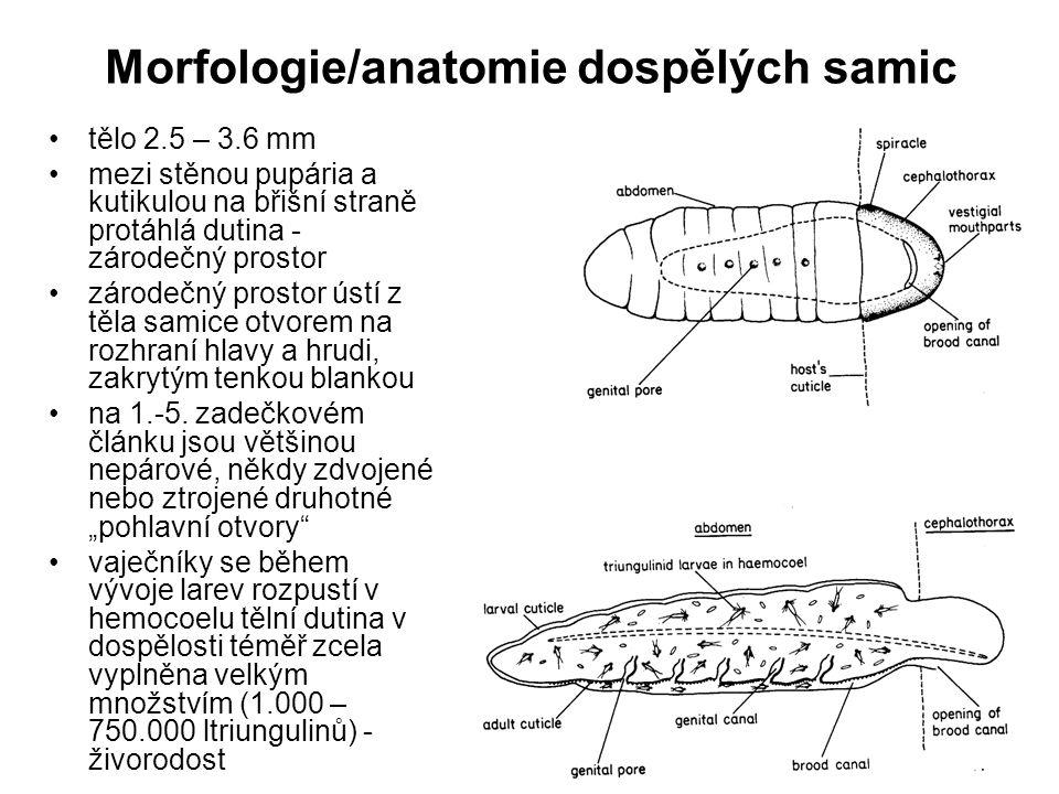 Morfologie/anatomie dospělých samic