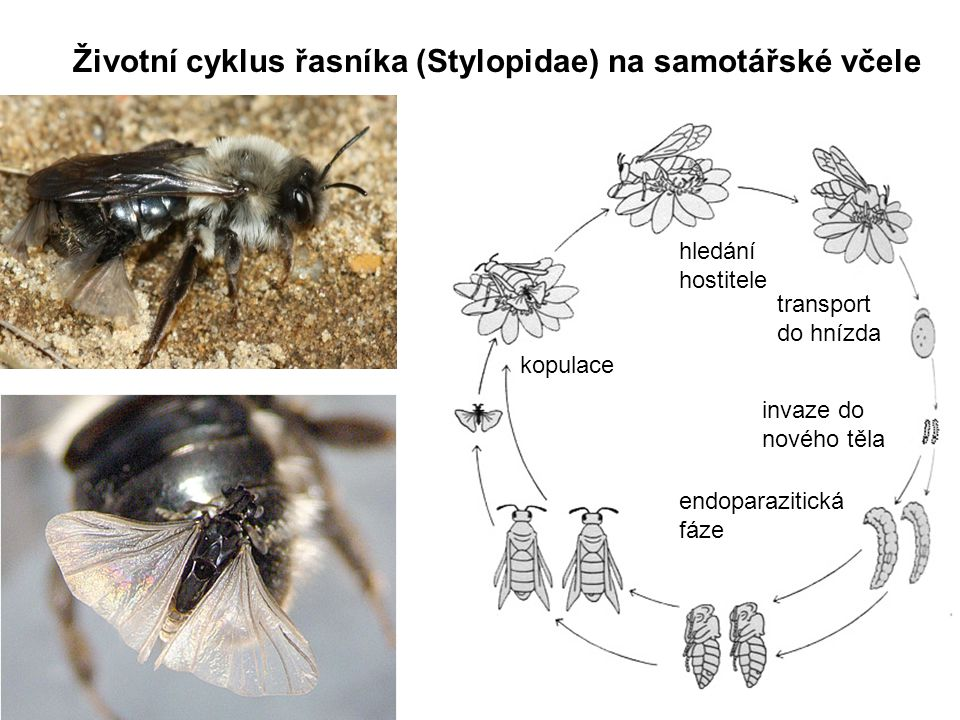 Životní cyklus řasníka (Stylopidae) na samotářské včele