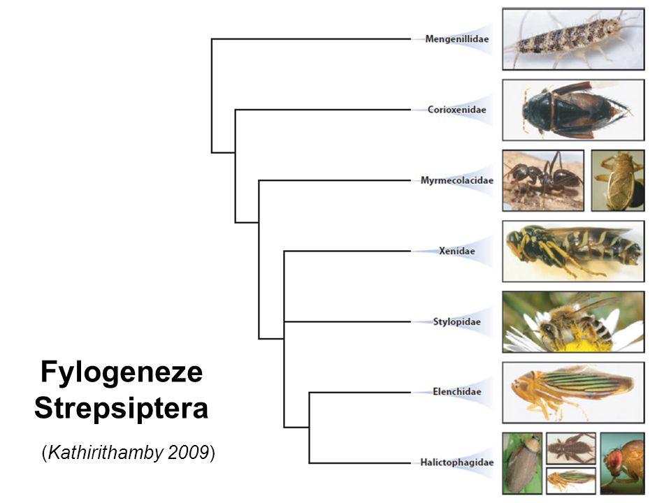Fylogeneze Strepsiptera