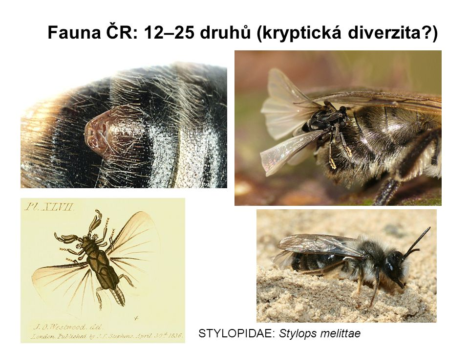 Fauna ČR: 12–25 druhů (kryptická diverzita )