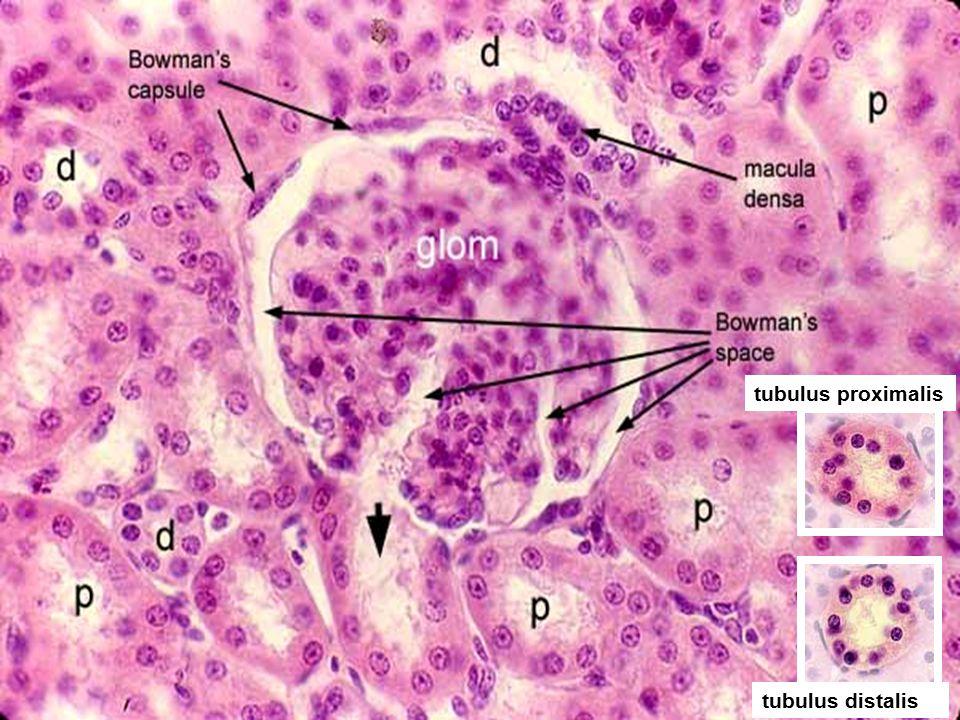 tubulus proximalis tubulus distalis