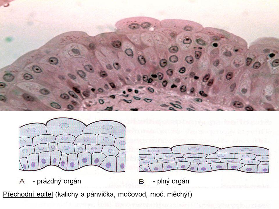 - prázdný orgán - plný orgán Přechodní epitel (kalichy a pánvička, močovod, moč. měchýř)