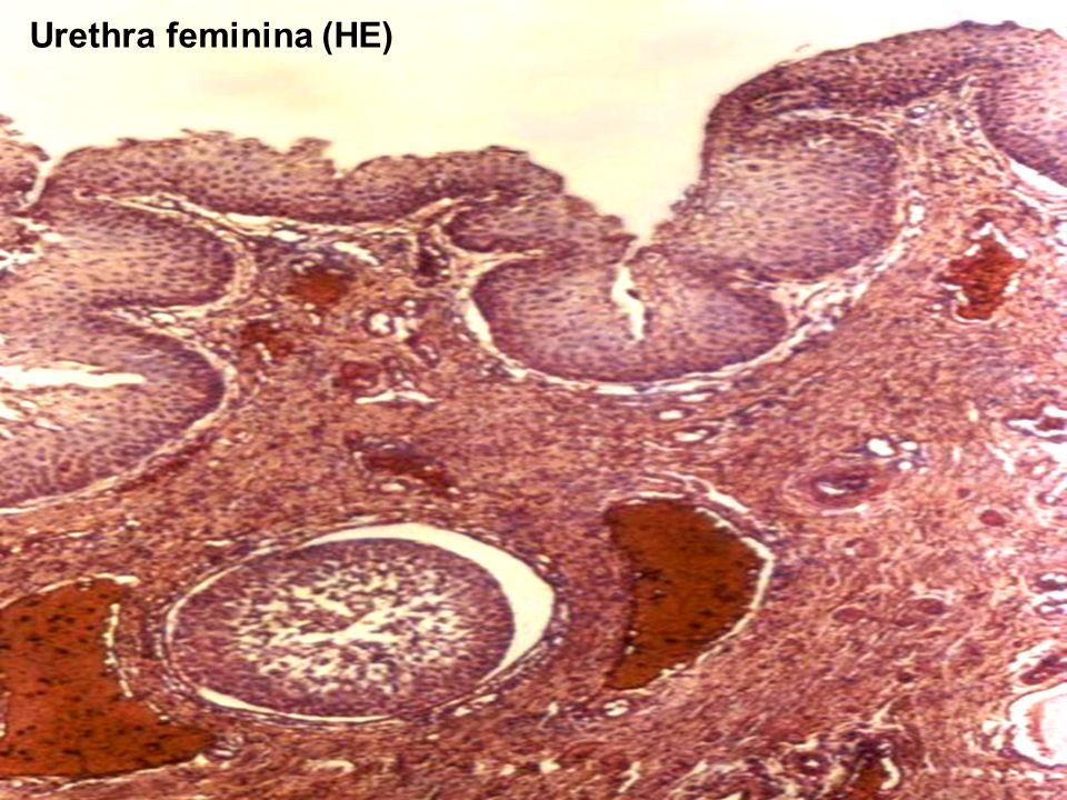 Urethra feminina (HE)