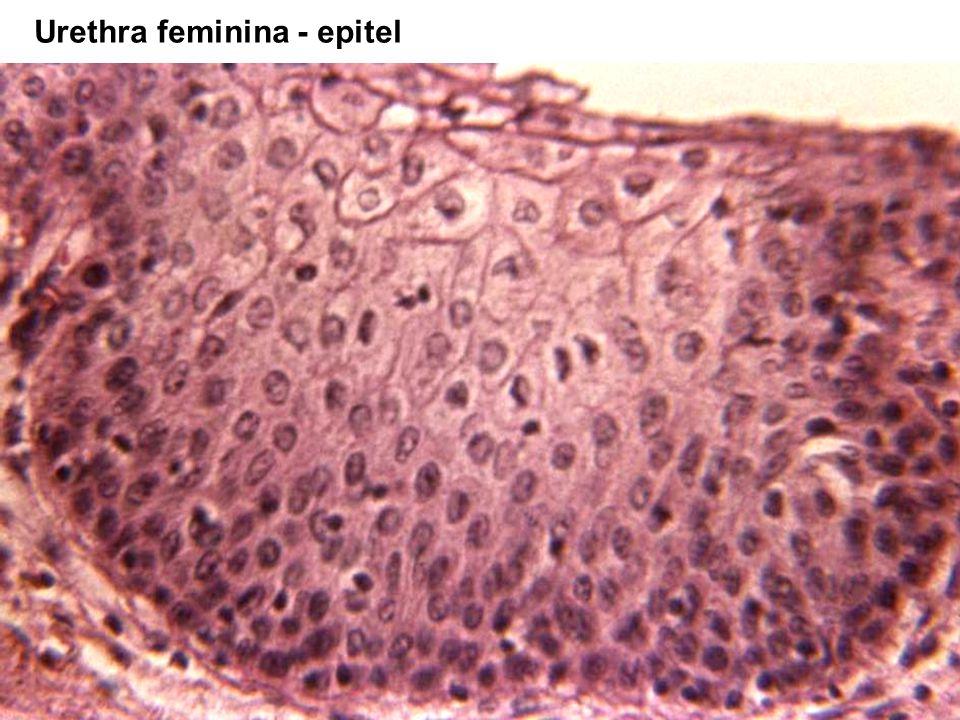 Urethra feminina - epitel