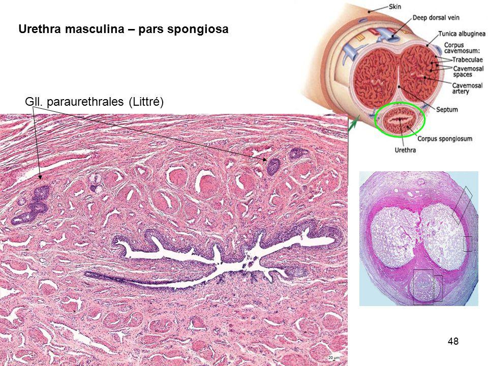 Urethra masculina – pars spongiosa