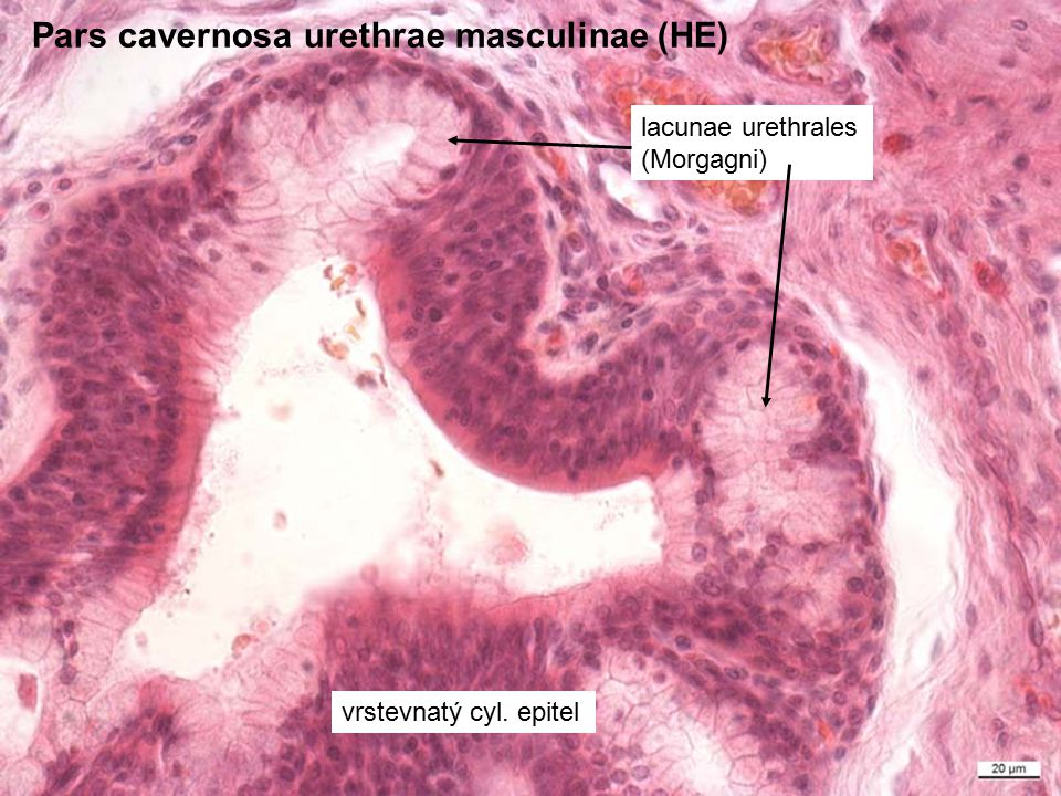 Pars cavernosa urethrae masculinae (HE)