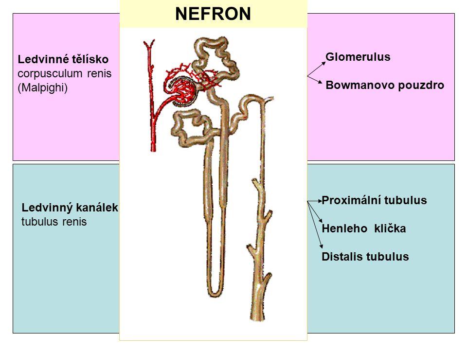NEFRON Glomerulus Ledvinné tělísko corpusculum renis Bowmanovo pouzdro