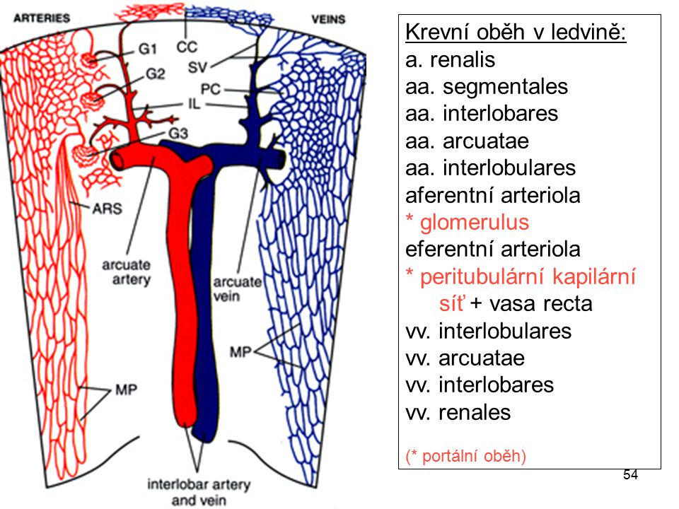 * peritubulární kapilární síť + vasa recta vv. interlobulares
