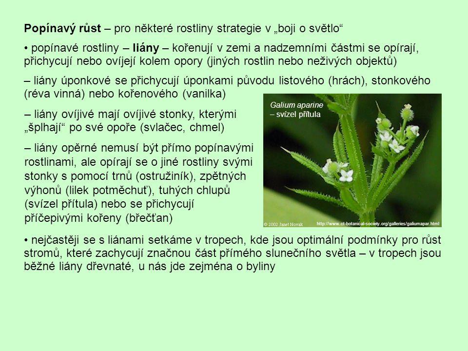 """Popínavý růst – pro některé rostliny strategie v """"boji o světlo"""