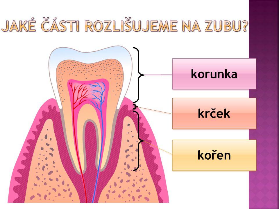 Jaké části rozlišujeme na zubu