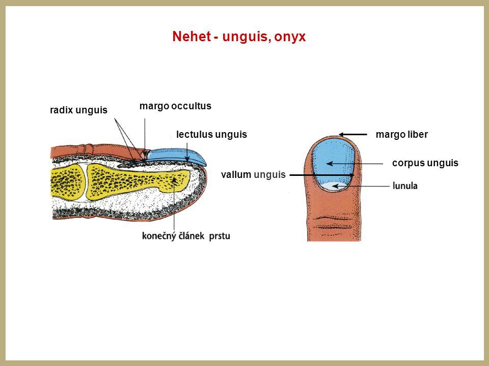 Nehet - unguis, onyx margo occultus radix unguis lectulus unguis