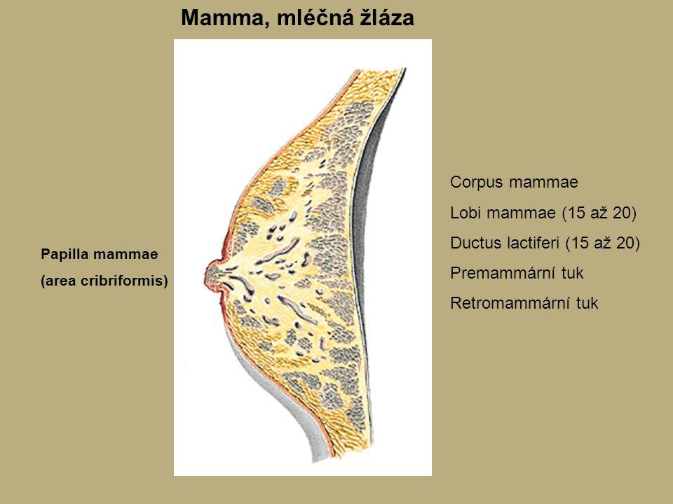 Mamma, mléčná žláza Corpus mammae Lobi mammae (15 až 20)