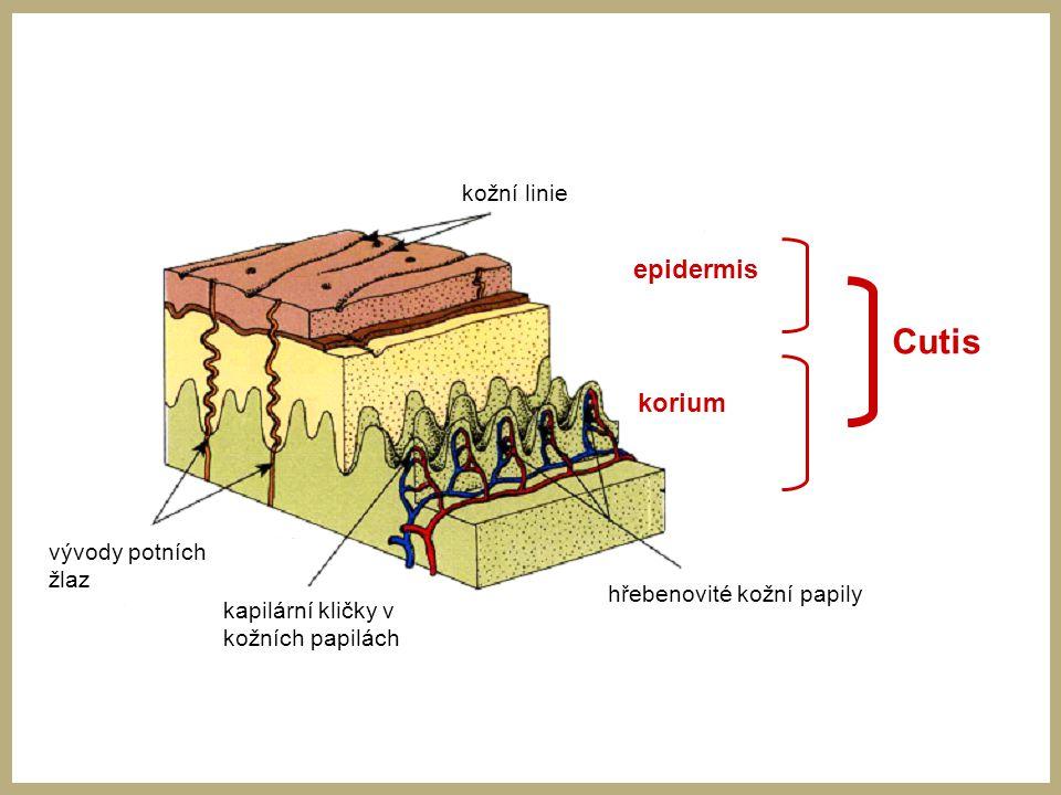 Cutis epidermis korium kožní linie vývody potních žlaz