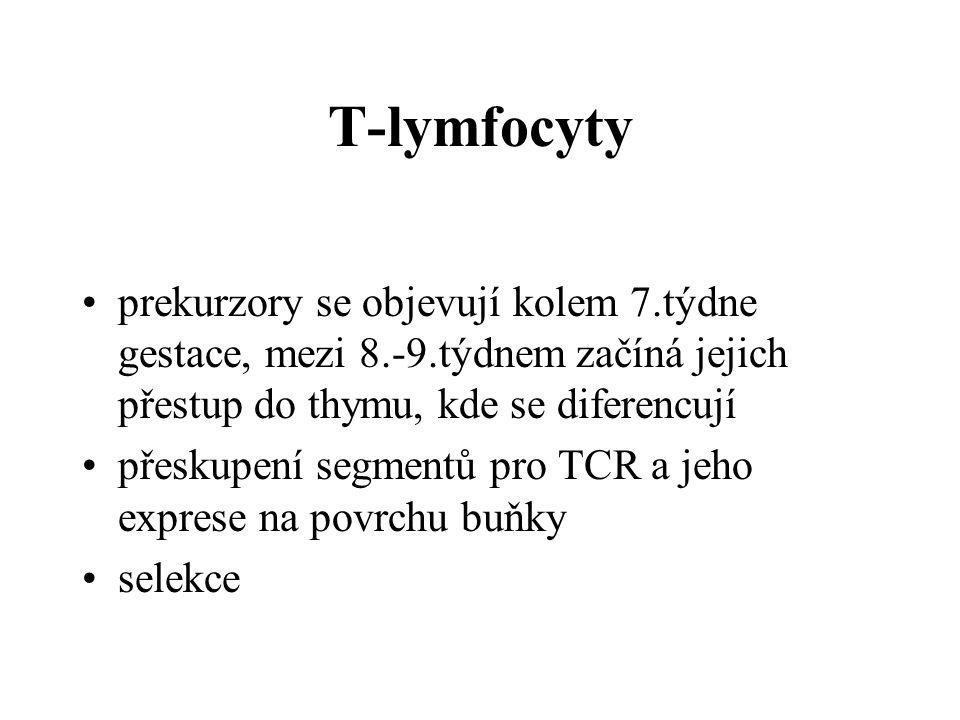 T-lymfocyty prekurzory se objevují kolem 7.týdne gestace, mezi 8.-9.týdnem začíná jejich přestup do thymu, kde se diferencují.