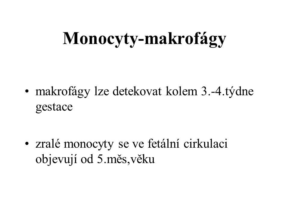 Monocyty-makrofágy makrofágy lze detekovat kolem 3.-4.týdne gestace