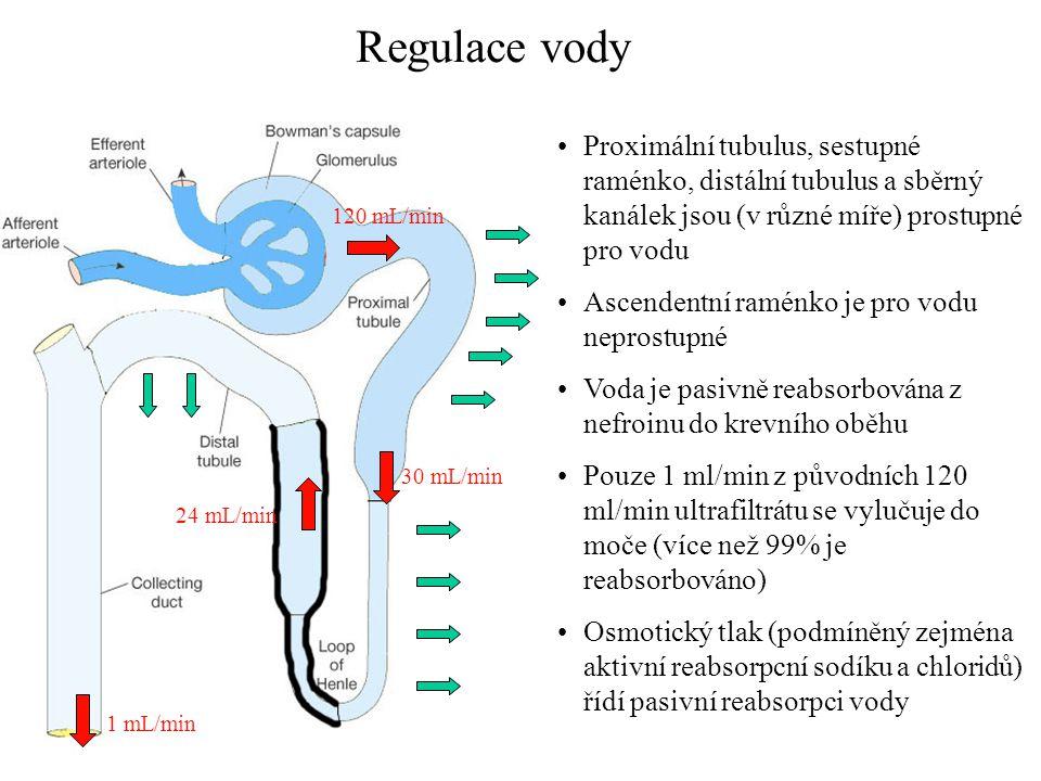 Regulace vody Proximální tubulus, sestupné raménko, distální tubulus a sběrný kanálek jsou (v různé míře) prostupné pro vodu.