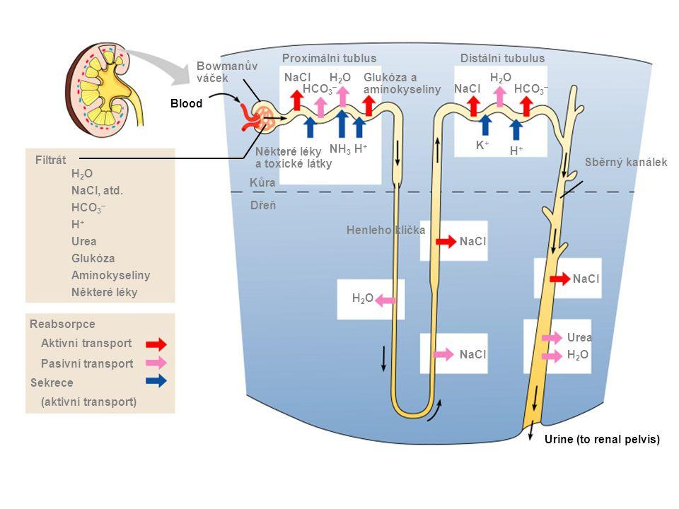 Proximální tublus Distální tubulus. Bowmanův. váček. NaCl. H2O. Glukóza a. aminokyseliny. H2O.