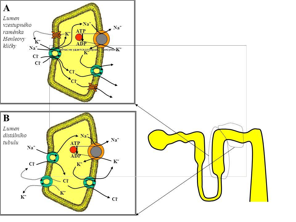 A B Lumen vzestupného raménka Henleovy kličky Lumen distálního tubulu