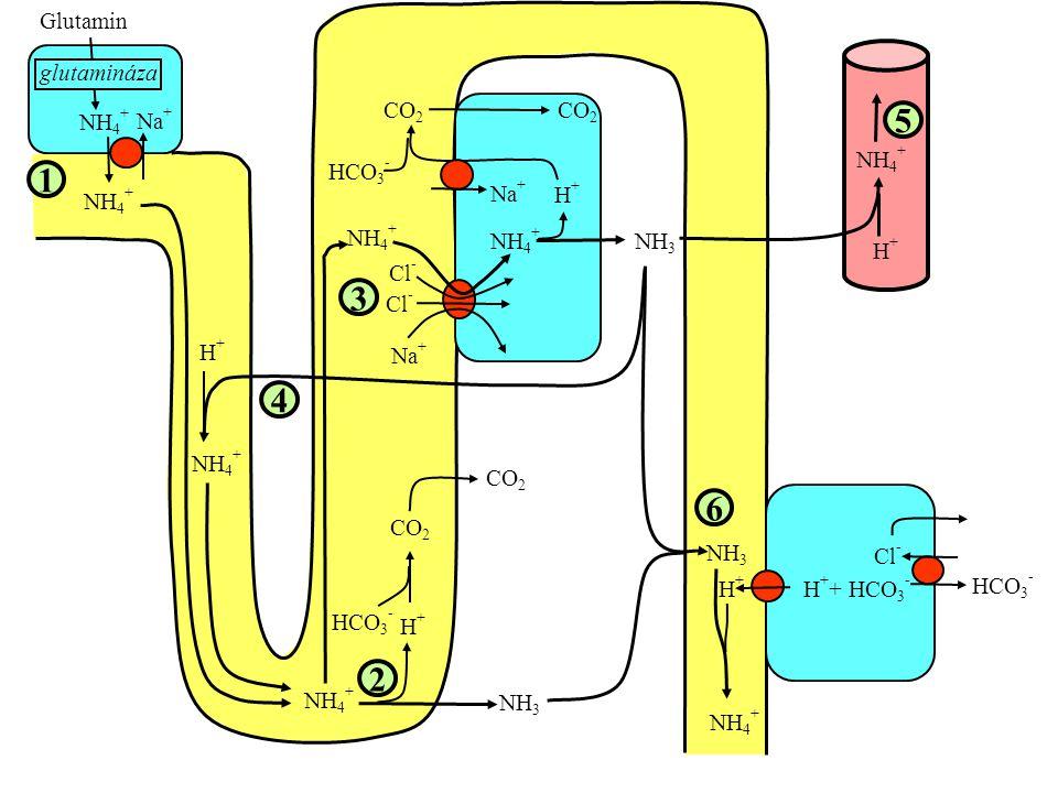 5 1 3 4 6 2 Glutamin glutamináza NH4+ Na+ Cl- CO2 H++ HCO3- HCO3- H+