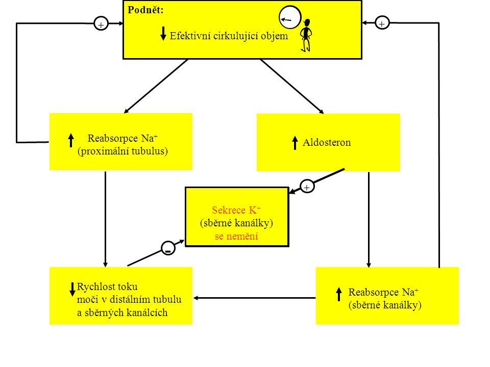 - + + Podnět: Efektivní cirkulující objem Reabsorpce Na+
