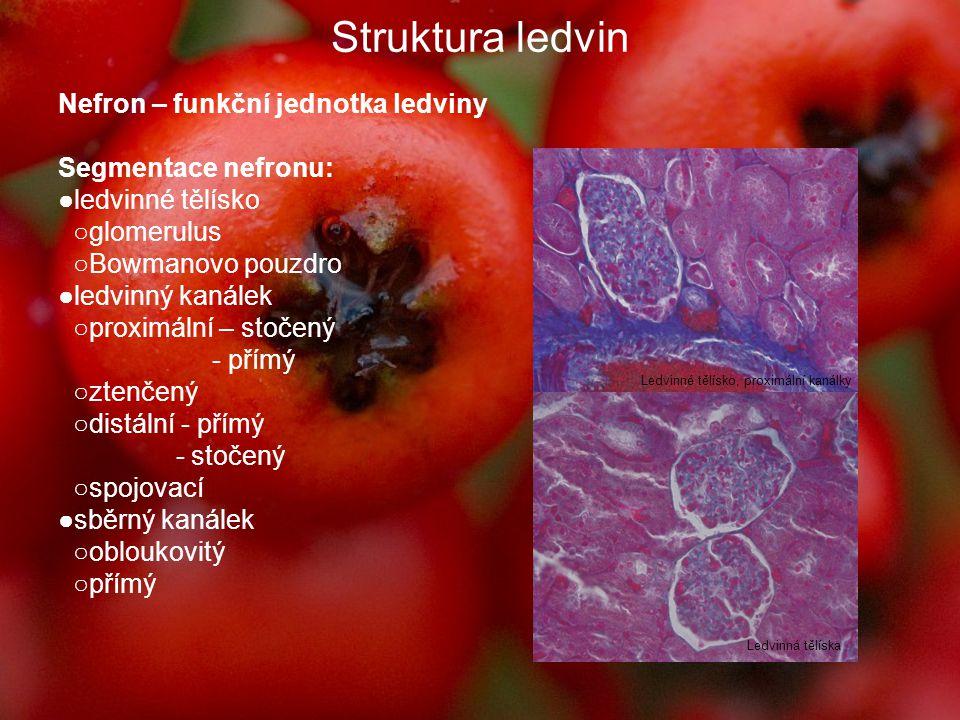 Struktura ledvin Nefron – funkční jednotka ledviny Segmentace nefronu: