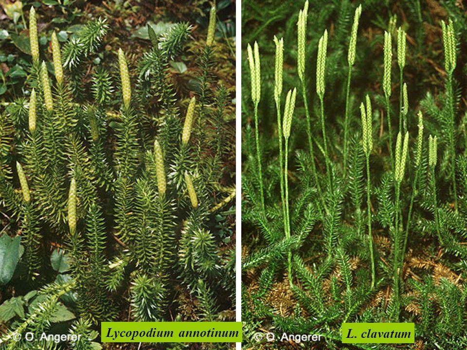 Lycopodium annotinum L. clavatum