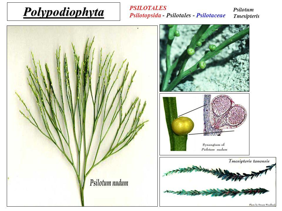 Polypodiophyta PSILOTALES Psilotopsida - Psilotales - Psilotaceae