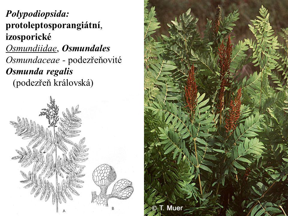Polypodiopsida: protoleptosporangiátní, izosporické. Osmundiidae, Osmundales. Osmundaceae - podezřeňovité.
