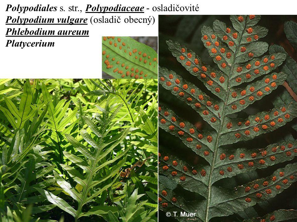Polypodiales s. str., Polypodiaceae - osladičovité