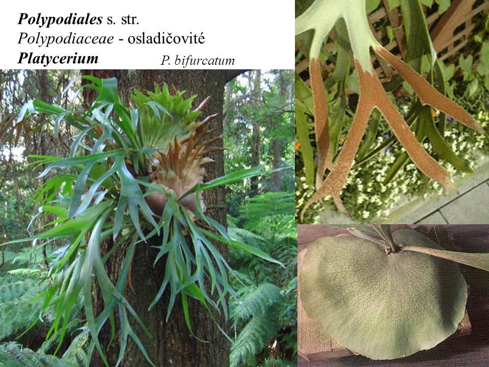 Polypodiaceae - osladičovité Platycerium