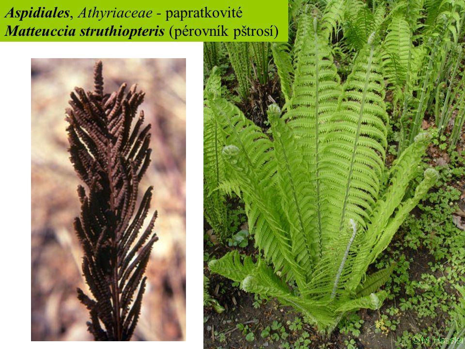 Aspidiales, Athyriaceae - papratkovité