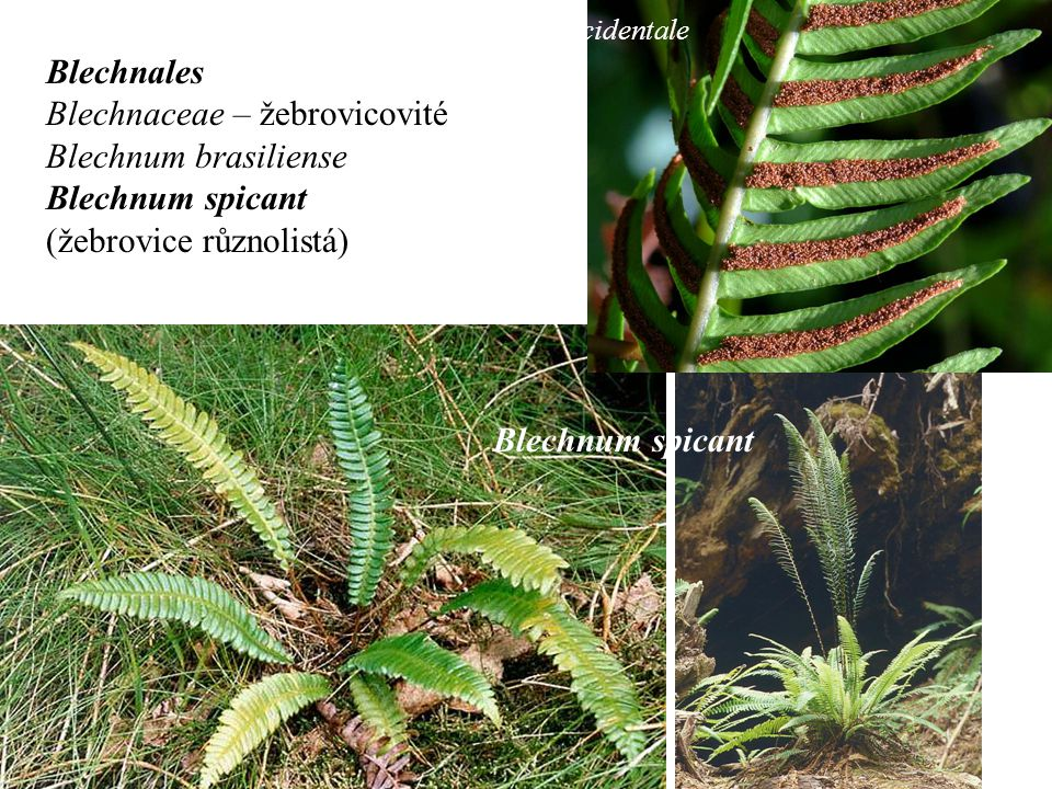 Blechnaceae – žebrovicovité Blechnum brasiliense Blechnum spicant