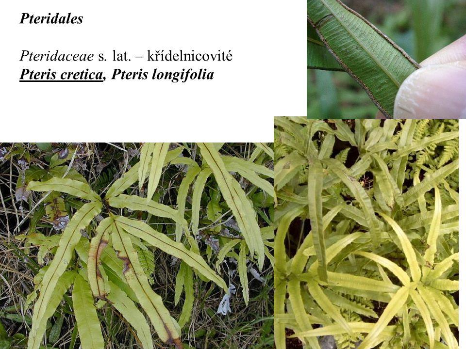Pteridales Pteridaceae s. lat. – křídelnicovité Pteris cretica, Pteris longifolia