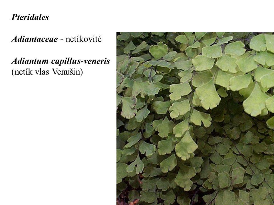 Pteridales Adiantaceae - netíkovité Adiantum capillus-veneris (netík vlas Venušin)