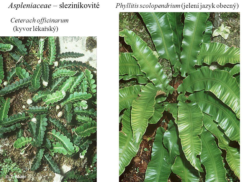 Aspleniaceae – sleziníkovité Ceterach officinarum