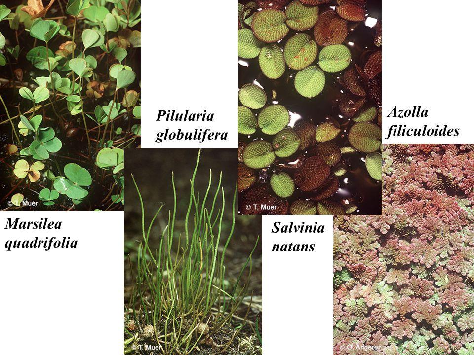 Azolla filiculoides Pilularia globulifera Marsilea quadrifolia Salvinia natans