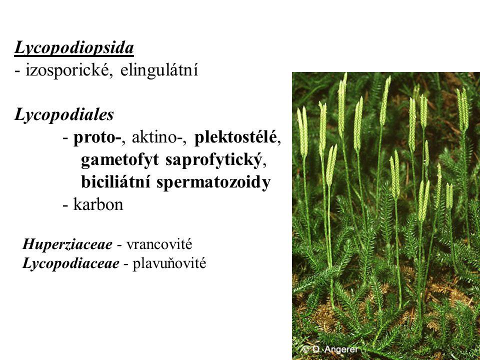- izosporické, elingulátní Lycopodiales