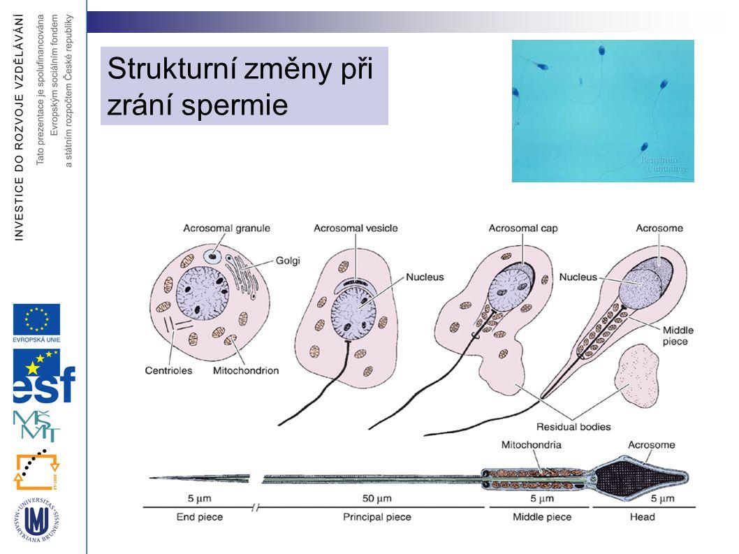 Strukturní změny při zrání spermie