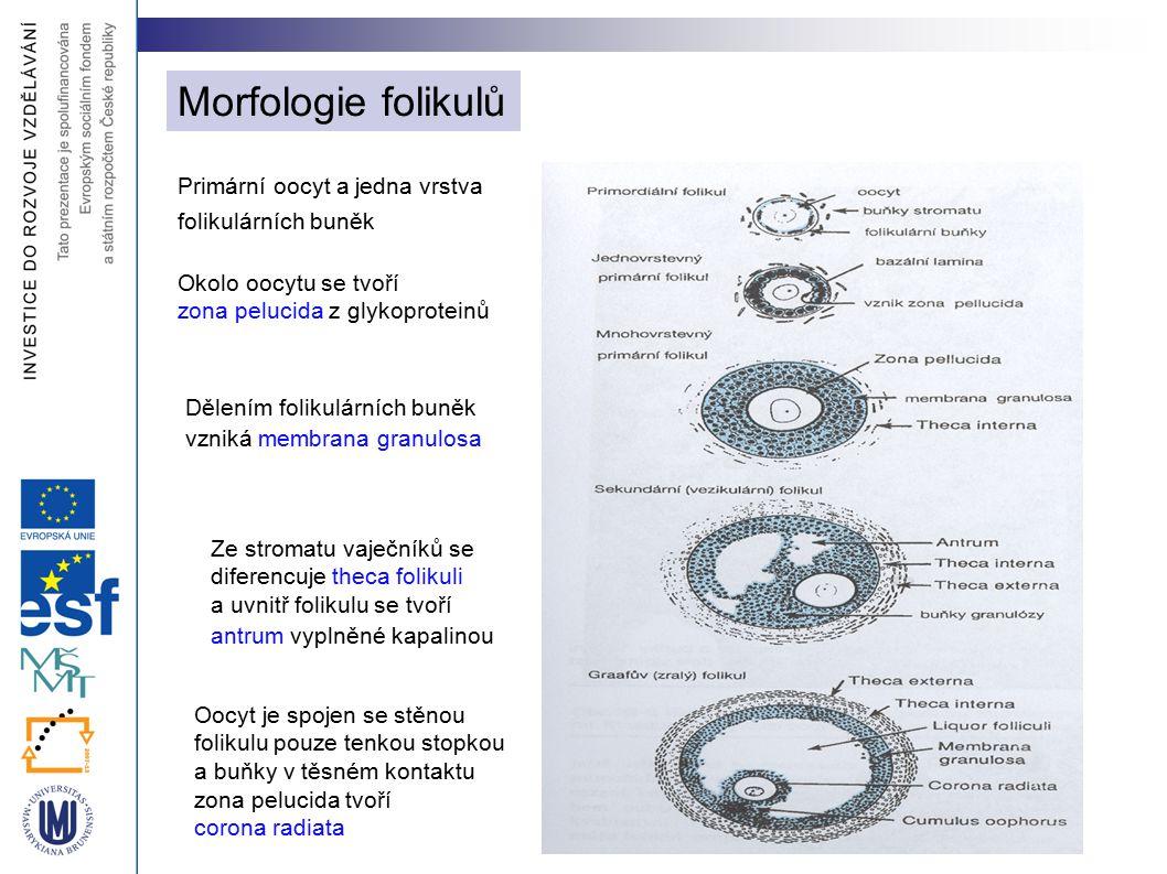 Morfologie folikulů Primární oocyt a jedna vrstva folikulárních buněk