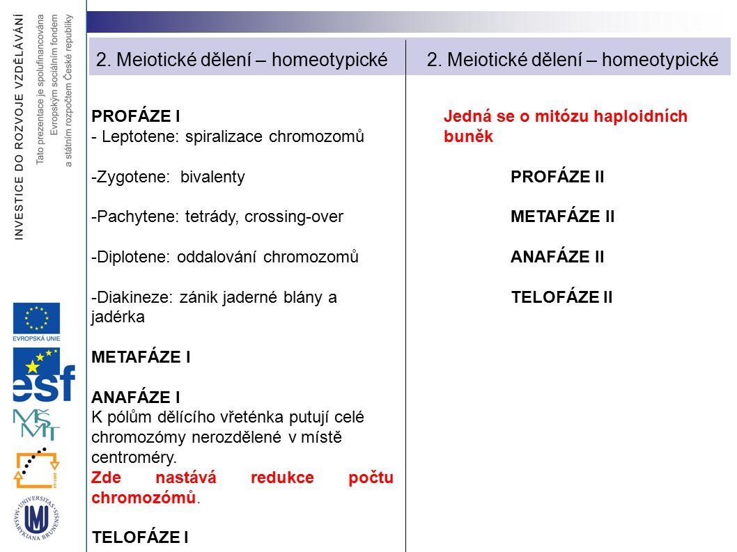 2. Meiotické dělení – homeotypické 2. Meiotické dělení – homeotypické