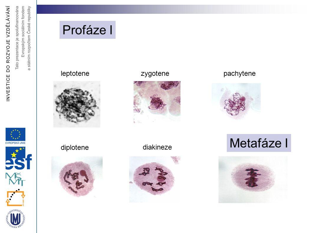 Profáze I leptotene zygotene pachytene Metafáze I diplotene diakineze